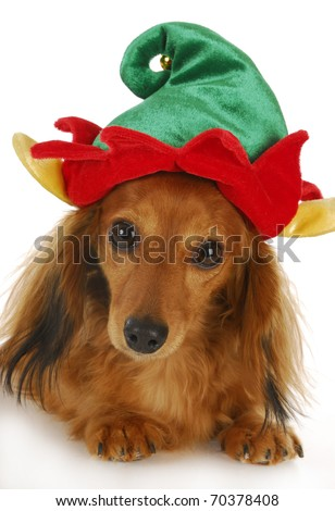 dachshund wearing cute elf hat looking at viewer with reflection on white background