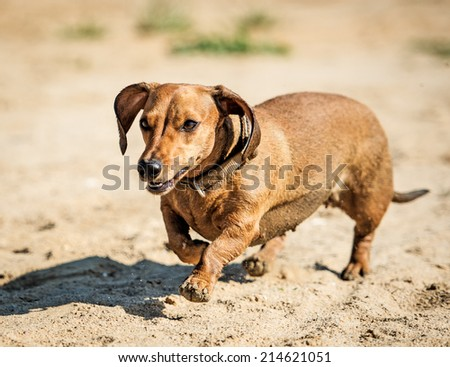 Dachshund went for a walk - stock photo
