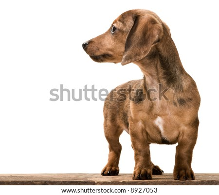 Dachshund Wiener Dog puppy looking away