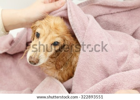 Dachshund wiping with a towel - stock photo