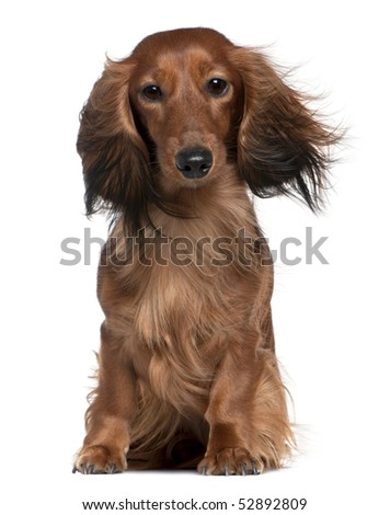 Dachshund with his hair in the wind, 2 years old, sitting in front of white background - stock photo