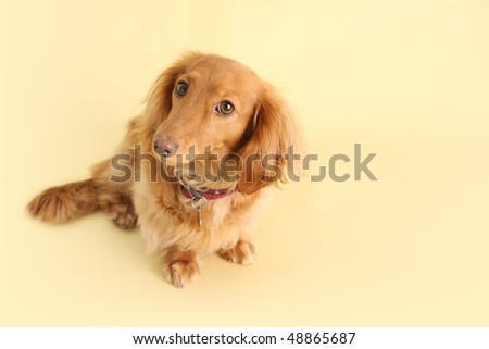 Dachshund with smart expression on a yellow background. - stock photo