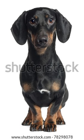 Dachshund, 1 year old, standing in front of white background - stock photo