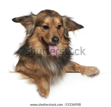 Dachshund, 6 years old, in front of white background - stock photo