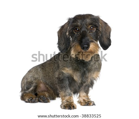 Dachshund, 2 years old, sitting in front of white background, studio shot - stock photo
