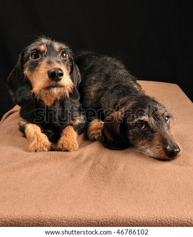 dachshunds lying down on a blanket - stock photo