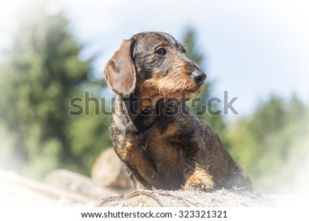 Dachshunds standing on a pile of wood in the forest