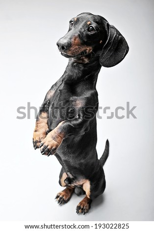 Dachshunds staying in two legs in the white studio  - stock photo