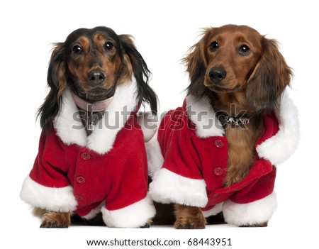 Dachshunds wearing Santa outfits, 18 months and 3 years old, in front of white background - stock photo