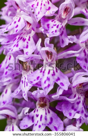 Dactylorhiza fuchsii, common spotted orchid plant. Purple blossom. Beautiful flower blooming in a natural environment. - stock photo