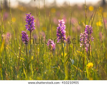 Dactylorhiza maculata subsp. maculata Orchids in between Grass Field vegetation of a protected nature reserve - stock photo