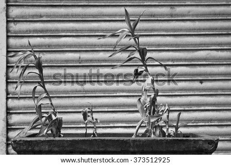 DADAR, MAHARASHTRA / INDIA -PLANT AND DRIED LEAFS IN EARTHEN POT ON THE STREET IN DADAR, INDIA. - stock photo