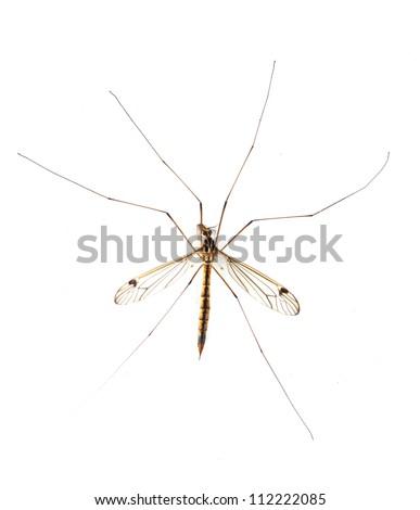 daddy long legs, mosquito nephrotoma scalaris on white background - stock photo