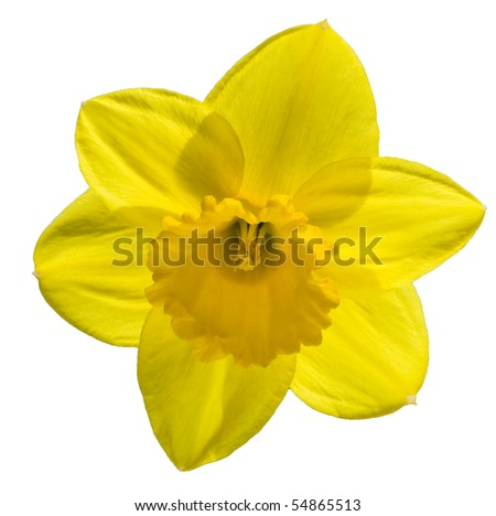 daffodil - stock photo