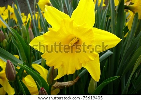 Daffodil Flower in Spring Field - stock photo