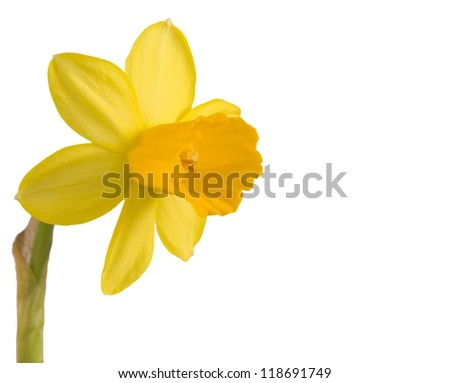Daffodil flower isolated on white/Daffodil flower isolated on white/Daffodil flower isolated on white