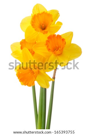 Daffodil flower or narcissus  bouquet  isolated on white background cutout - stock photo