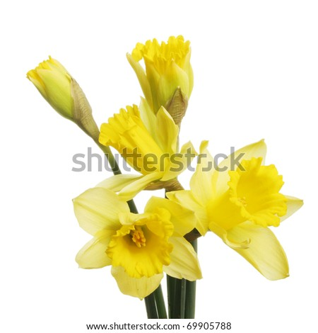 Daffodil flowers and breaking buds isolated against white - stock photo