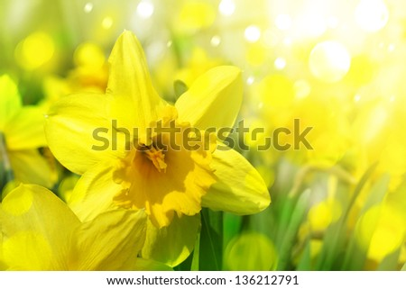 Daffodil flowers background in sunlight. - stock photo