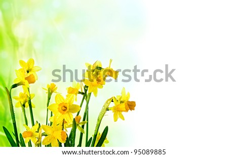 daffodil flowers easter background