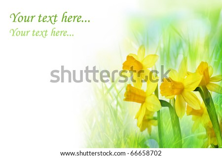 daffodil flowers in grass - stock photo