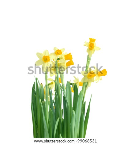 Daffodil flowers isolated on white background with clipping path