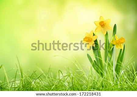 Daffodil flowers on spring background - stock photo