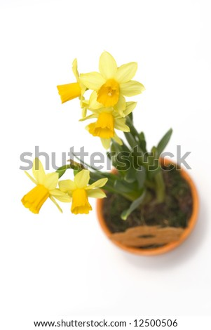 daffodil in flower pot isolated on white - stock photo