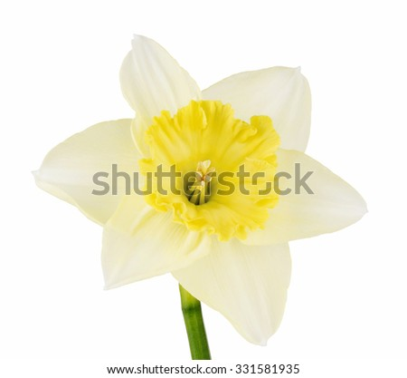 Daffodil isolated on white background