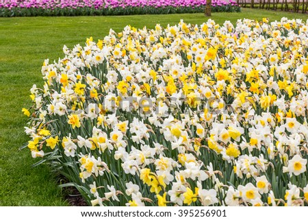 Daffodil multicolor flowerbed in the grass in the park at the day light - stock photo