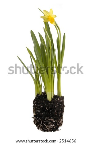 daffodil-narcissus - stock photo