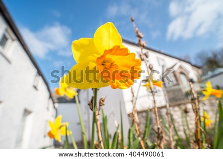 Daffodil (Narcissus) flowers blooming in front of a white house on a sunny day in Spring. Brecon Beacons, Wales. March - stock photo
