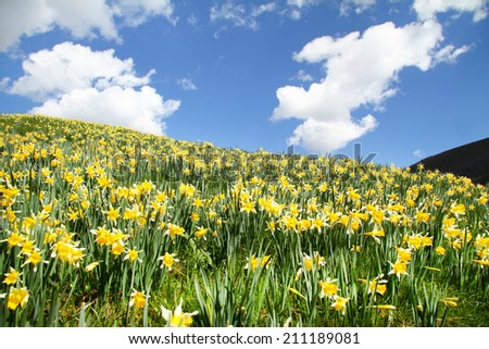 Daffodil (Narcissus pseudonarcissus) field in spring - stock photo