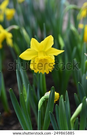 Daffodil Narcissus yellow flower in bloom in spring - stock photo