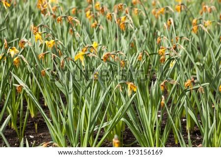 Daffodil wilt - stock photo