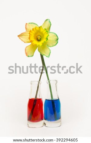 Daffodil with a split stem, half in water with red food coloring the other half in blue water. - stock photo