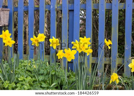 Daffodils against a blue picket fence.