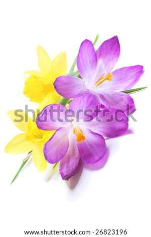 daffodils and crocuses, beautiful springtime flowers - stock photo