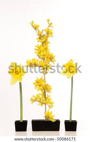 Daffodils and Forsythia Still Life - stock photo