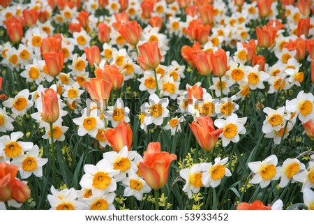 Daffodils and tulips - stock photo