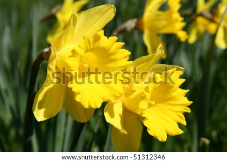 Daffodils blooming in early spring in a park - stock photo