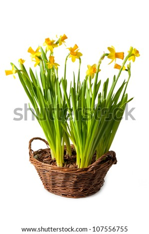 daffodils boquet in the basket, isolated - stock photo