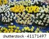 Daffodils, Chelsea Flower Show - stock photo