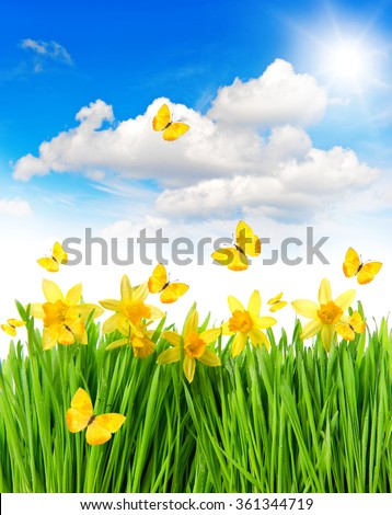 Daffodils easter flowers in green grass. Spring landscape with butterflies and sunny blue sky - stock photo