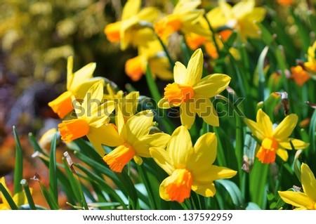 Daffodils flower - stock photo
