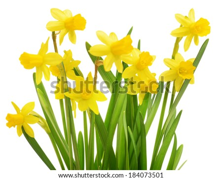 daffodils, flowers isolated on white background - stock photo