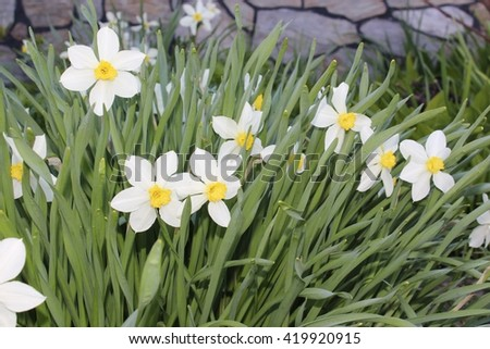 Daffodils flowers spring bloom in the garden - stock photo