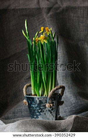 Daffodils in a flower pot. Spring greeting card retro style
