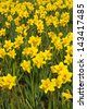 Daffodils in park a popular symbol of the spring season whose flowers bloom during springtime - stock photo