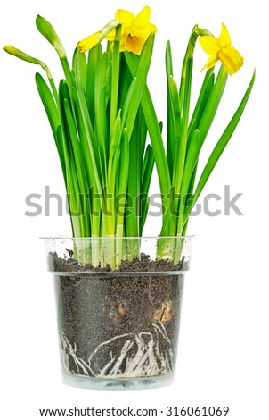 Daffodils in small planter. Clipping Path Included.